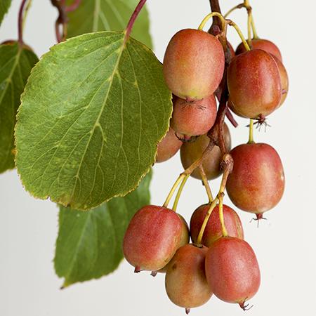 Hardy kiwi fruit - red skinned