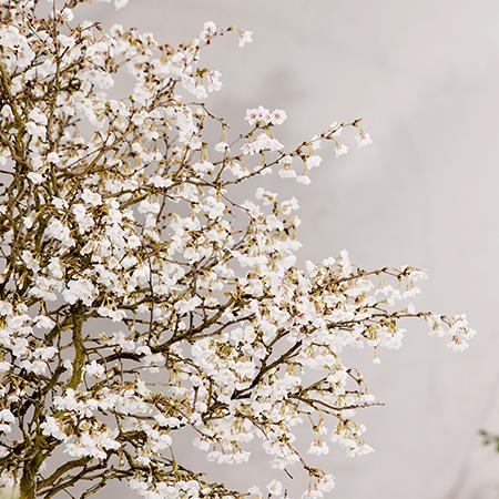 3ft Fuji Dwarf Cherry Blossom Tree 4l Pot Prunus Incisa Kojo No Mai 29 99