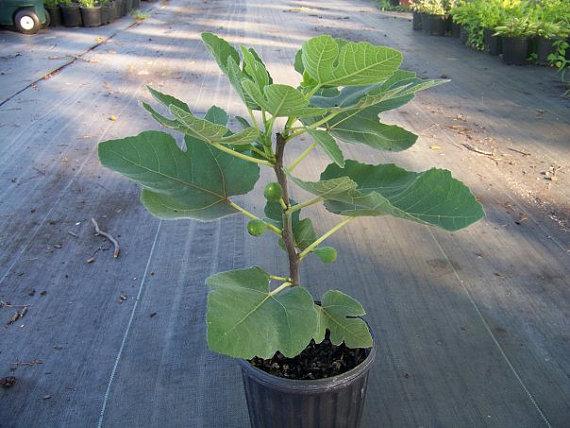 Fig Tree Brown Turkey 9cm Pot 163 7 99
