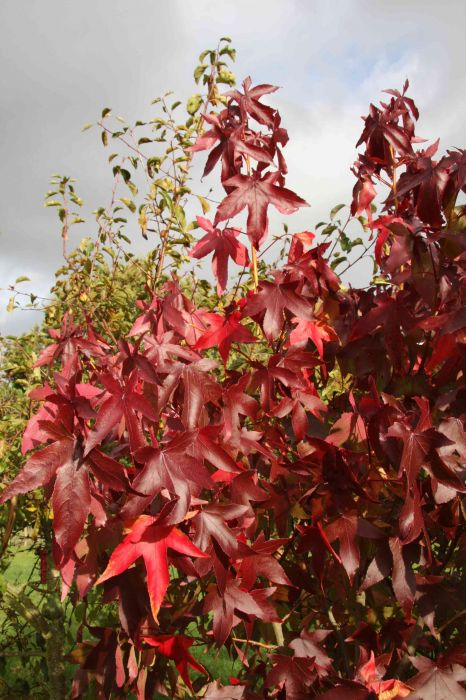 5ft Sweet Gum Tree| 9L Pot | Liquidambar stry. 'Thea'