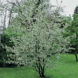 5ft Winter Flowering Cherry Blossom Tree | Bare Root | Prunus x sub Autumnalis Rosea