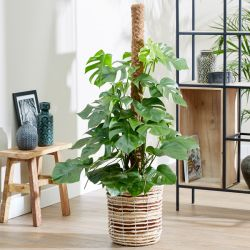 110cm Monstera Deliciosa on Moss Pole | Swiss Cheese Plant | 27cm Pot | By Plant Theory