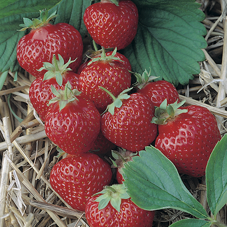 Strawberry 'Honeoye' (early) (Pack of 5) Bare root