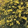 Winter Jasmine 6ft Cane 10L Pot 'Jasminium nudiflorum'