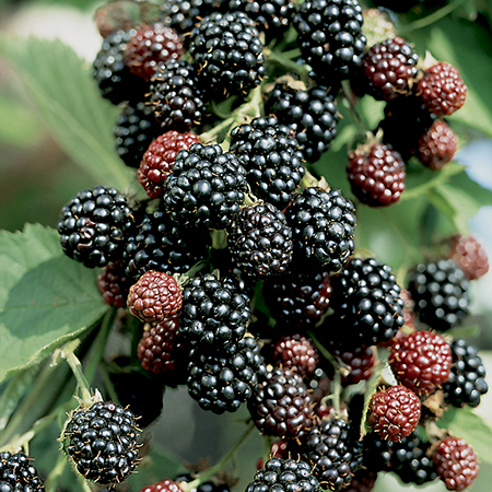1ft 'Loch Ness' Blackberry Bush | 2L Pot