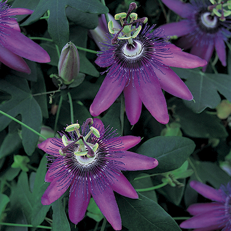 3ft Passiflora Amethyst 'Lavender Lady' | 3L Pot |