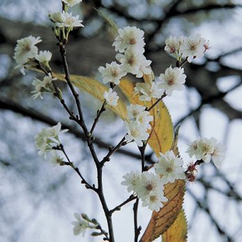 Winter Flowering Cherry 9L Pot - Prunus x sub Autumnalis Rosea