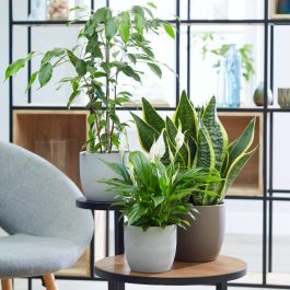 Large Air Purifying Plants Collection By Plant Theory | Peace Lily, Ficus benjamina & 'Superba' Snake Plant | 13cm Pots