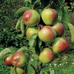 5ft 'Ballerina Samba' Dessert Apple Tree | MM106 Semi Vigorous Rootstock | 12L Pot | By Frank P Matthews™
