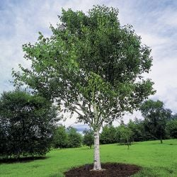 12ft Himalayan Birch Tree | 18L Pot | Betula utilis var. jacquemontii