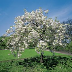 5ft Blushing Bride Cherry Blossom Tree | 9L Pot | Prunus Shogetsu