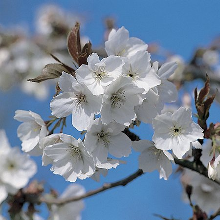 Great White Cherry 9L Pot - Prunus 'Tai-haku'
