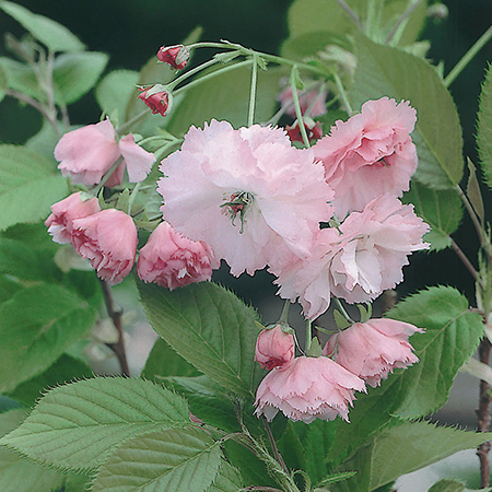 Prunus 'Pink Perfection' (Pink Perfection Cherry) - 9L Pot