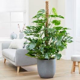 140cm Monstera Deliciosa on Moss Pole | Swiss Cheese Plant | 32cm Pot | By Plant Theory