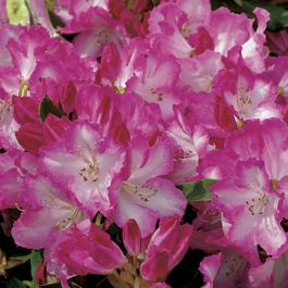 3ft Specimen Rhododendron 'Lem's Monarch' - 15L Pot