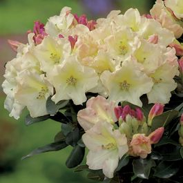 3ft Specimen Rhododendron 'Horizon Monarch' - 15L Pot