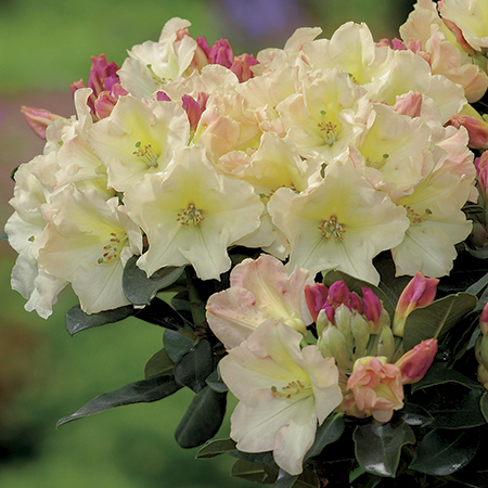 2ft Rhododendron 'Horizon Monarch' | 7.5L Pot | Rhododendron Hybrid