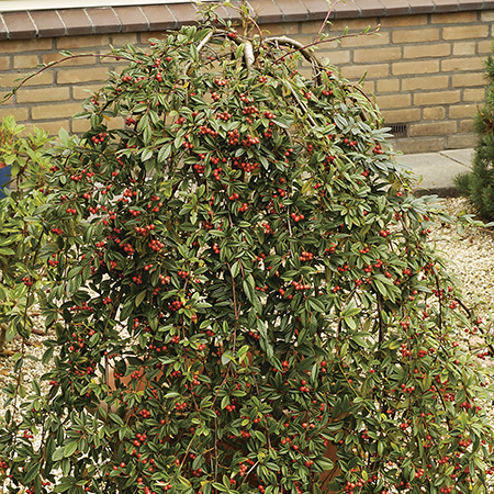 5ft Weeping Cotoneaster Tree | 12L Pot - Cotoneaster 'Hybridus Pendulus' | By Frank P Matthews™