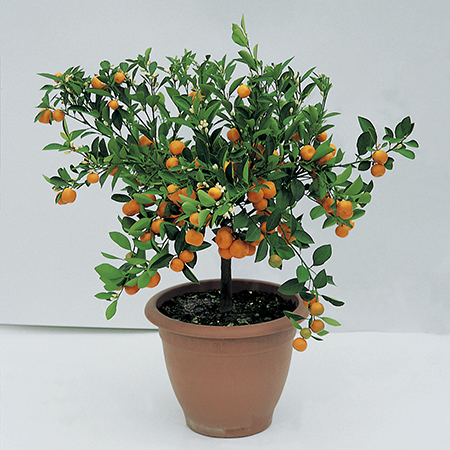 3ft Blood Orange Tree | Citrus Sinensis 'Arancio' | 12L Pot