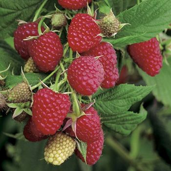 Raspberry 'Polka' Bush - Rubus Idaeus - 3L Pot