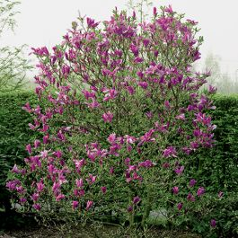 6ft Susan Magnolia Tree | 18L Pot | Half Standard