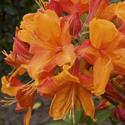 2ft Deciduous Azalea 'Golden Eagle' | 5L Pot - Azalea mollis 'Golden Eagle'