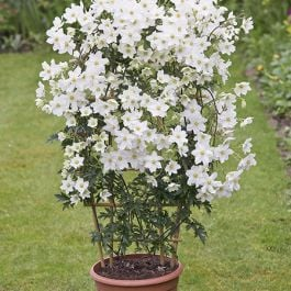 Clematis × Cartmanii 'Avalanche' - 2.5L Pot