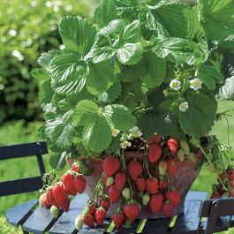 Red Gauntlet' Strawberry Plants | Pack of 5 Bare Roots