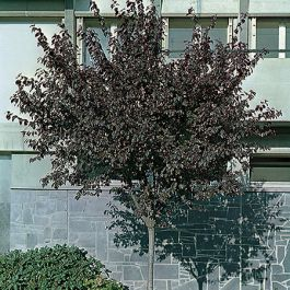5ft Black Cherry Plum Tree | 9L Pot | Prunus cerasifera Nigra
