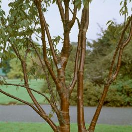 7ft Multi-Stem Tibetan Cherry Tree | 4 Years Old | 18L Pot | Prunus Serrula