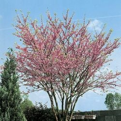5ft North American Redbud Tree | 12L Pot | Cercis canadensis 'Forest Pansy' | By Frank P Matthews™