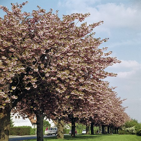 5ft Pink Perfection Cherry Blossom Tree | Bare Root