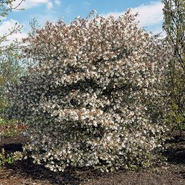 5ft Serviceberry Tree | 12L Pot | Amelanchier La Paloma | By Frank P Matthews™
