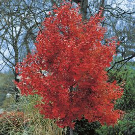 October Glory' Red Maple Tree 12L Pot- Acer rubrum 'October Glory' By Frank P Matthews™