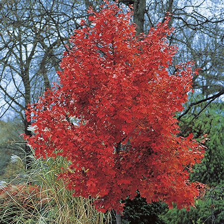 October Glory Red Maple Tree | 12L Pot | Acer rubrum 'October Glory' | By Frank P Matthews™