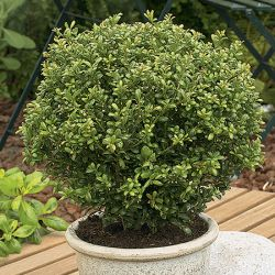 40-50cm Japanese Holly Ball 15L Pot - Ilex Crenata 'Glory Gem'