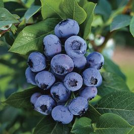 1ft 'Berkeley' Blueberry Bush | 9cm Pot