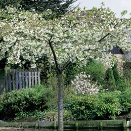 7ft Prunus 'Shirotae' Cherry Blossom Tree | Half Standard | 18L Pot