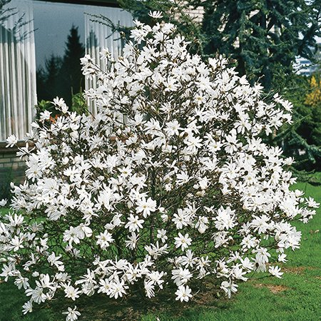 1ft Stellata Magnolia Tree | 9cm Pot
