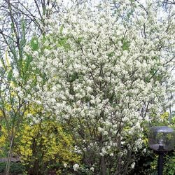 5ft Amelanchier lamarckii Tree | 9L Pot