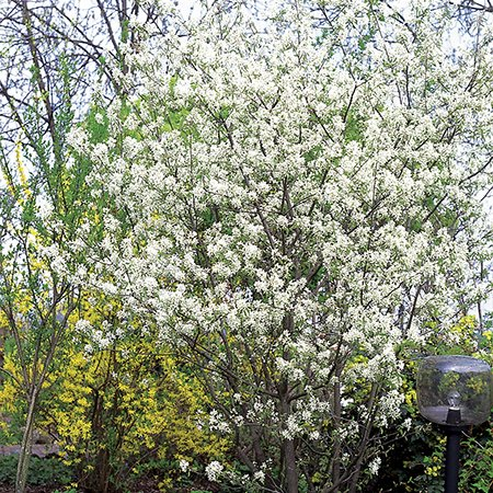 amelanchier lamarckii snowy mespilus 9l pot. Black Bedroom Furniture Sets. Home Design Ideas