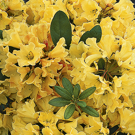 1ft Rhododendron 'Nancy Evans' | 3L Pot | Rhododendron Yakushimanum