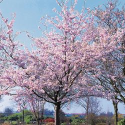 5ft Accolade Cherry Blossom Tree | Bare Root