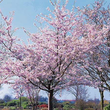 Prunus 'Accolade' (Accolade Cherry) - 9L Pot