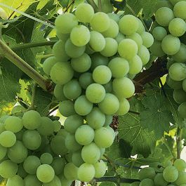 3ft 'Vroege van der Laan' Grape Vine | 2L Pot