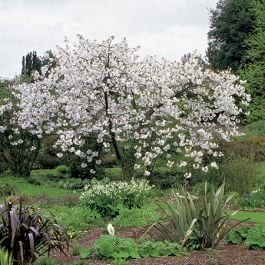 5ft Great White Cherry Blossom Tree | Bare Root | Prunus Tai-haku