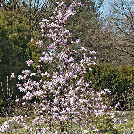 3ft Leonard Messel Magnolia Tree | 10L Pot | Magnolia x leobneri 'Leonard Messel'
