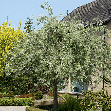 5ft Willow-leaved pear | Bare Root | Pyrus salicifolia Pendula