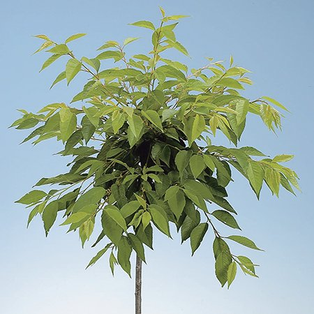 Cherry 'Yoshino' Tree - Prunus yedoensis Ivensii - 9L Pot