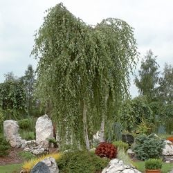 5ft Silver Birch Tree | 9L Pot | Betula pendula